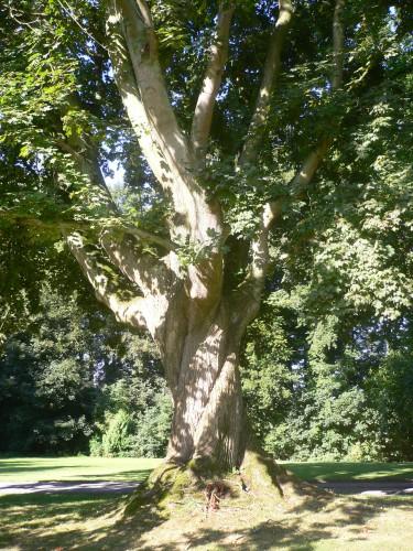 Acer platanoïdes schwedleri